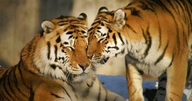 29 de Julio Tal Día como Hoy Tigre de Bengala Los Secretos de Dorian: El Magazine de la Eterna Juventud